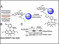 O-GlcNAcylation Regulates the Stability and Enzymatic Activity of the Histone Methyltransferase EZH2