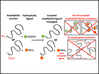 Conjugation of Amphiphilic Proteins to Hydrophobic Ligands in Organic Solvent
