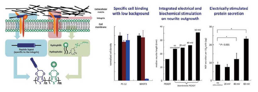 Large Enhancement in Neurite Outgrowth on a Cell-Membrane-Mimicking Conducting Polymer