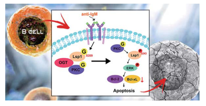 Temporal Regulation of Lsp1 O-GlcNAcylation and Phosphorylation during Apoptosis of Activated B Cells
